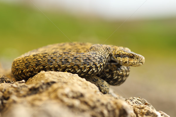 meadow viper basking in sittu Stock photo © taviphoto