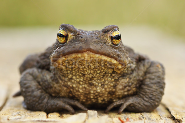 cute common brown toad looking at the camera Stock photo © taviphoto