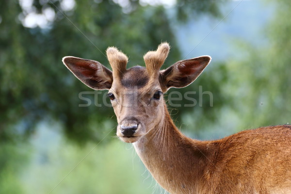 fallow deer stag Stock photo © taviphoto