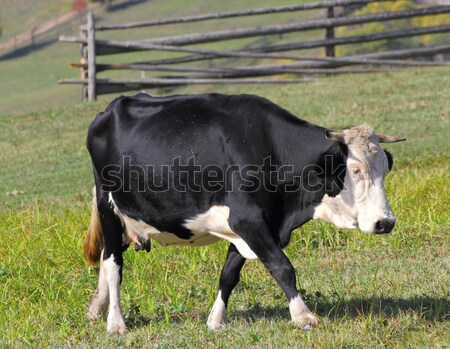 holstein in meadow Stock photo © taviphoto