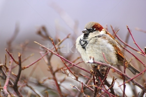sparrow in a cold winter day Stock photo © taviphoto