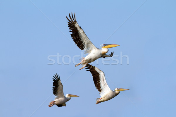 flock of pelicans flying Stock photo © taviphoto