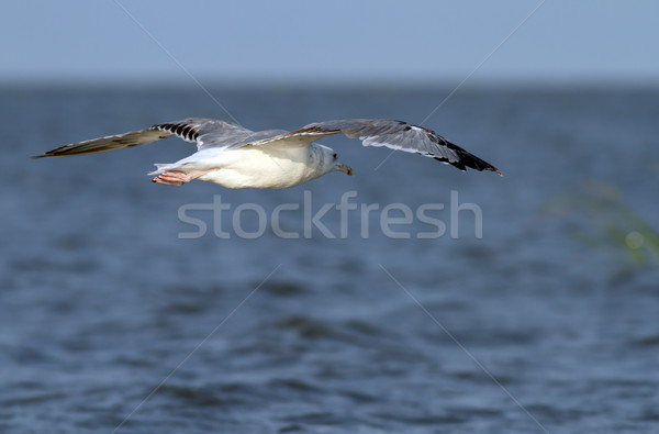 larus argentatus flying over the sea Stock photo © taviphoto