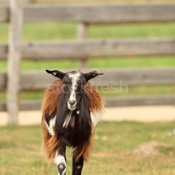 mottled domestic goat  Stock photo © taviphoto