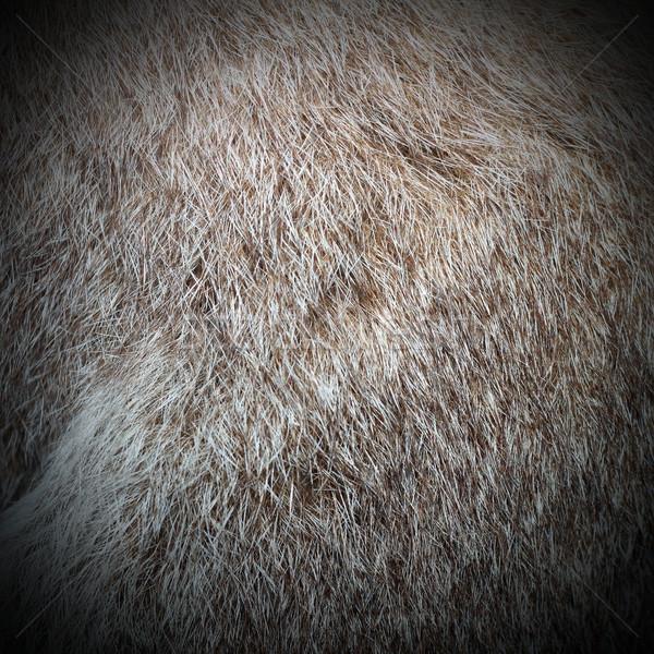 protemnodom rufogrisea fur Stock photo © taviphoto