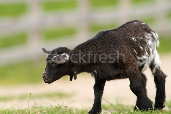 black young goat on farm alley Stock photo © taviphoto
