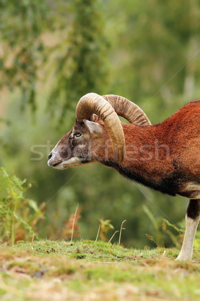 big mouflon ram over green background Stock photo © taviphoto