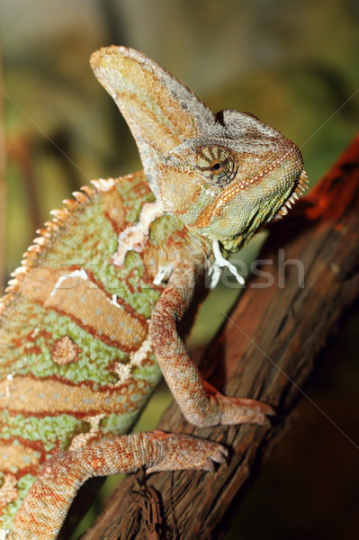 veiled chameleon Stock photo © taviphoto