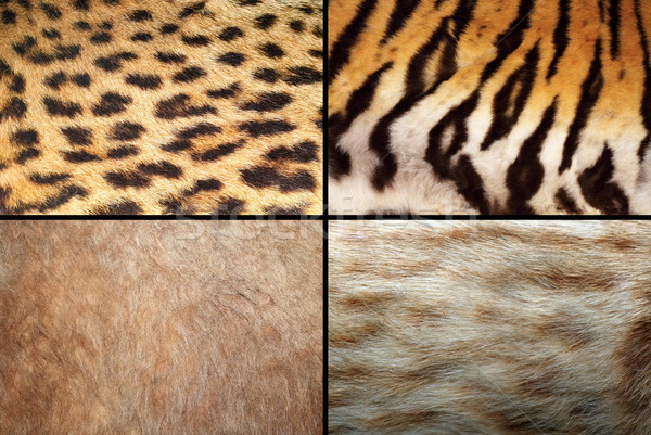 wild felines fur collection Stock photo © taviphoto