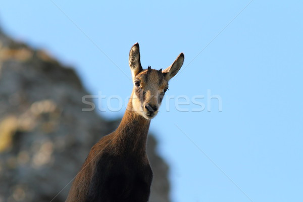 Cute wild gems jongeling naar camera Stockfoto © taviphoto