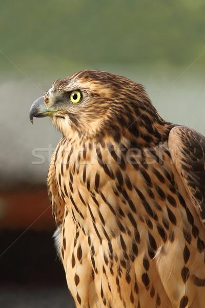 eurasian sparrowhawk closeup Stock photo © taviphoto