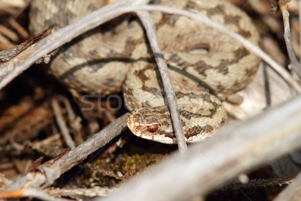 common european viper hiding amongst twigs Stock photo © taviphoto