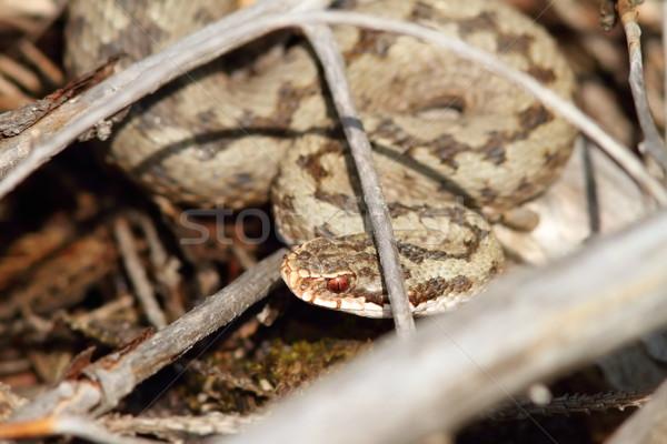 Európai rejtőzködik nap természet kígyó női Stock fotó © taviphoto