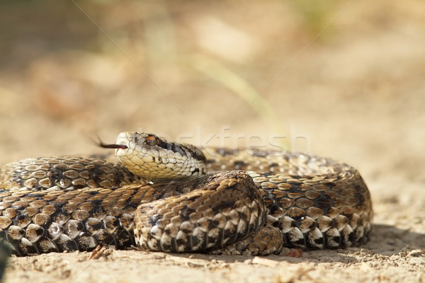 vipera ursinii on the ground Stock photo © taviphoto