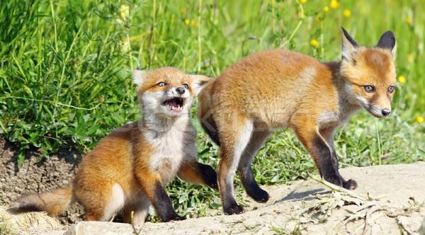 Arrabbiato Fox baby rosso giocare fratello Foto d'archivio © taviphoto