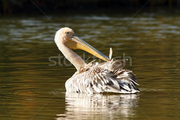 juvenile great pelican on pond Stock photo © taviphoto