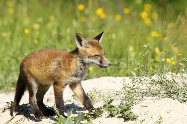 cute young red fox Stock photo © taviphoto