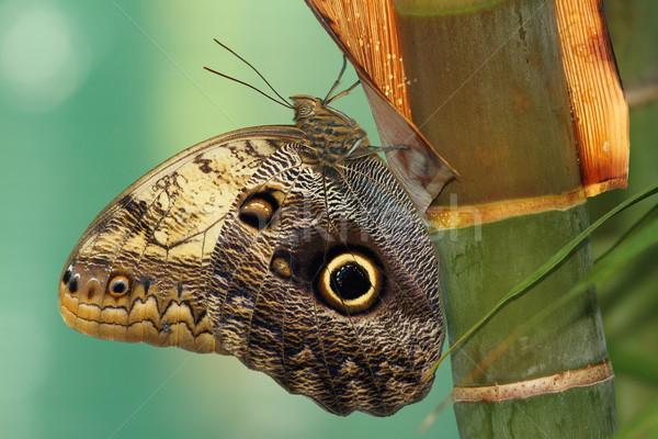 лес гигант совы бабочка макроса выстрел Сток-фото © taviphoto