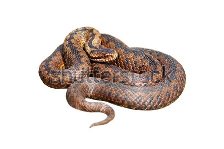 isolated female european viper Stock photo © taviphoto