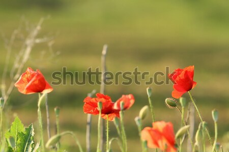 wild colorful poppies Stock photo © taviphoto