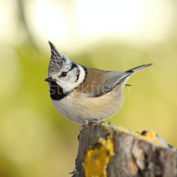 crested tit perched on a stump in the garden Stock photo © taviphoto