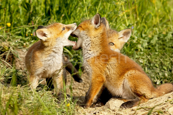 cute fox cubs playing out of the burrow Stock photo © taviphoto