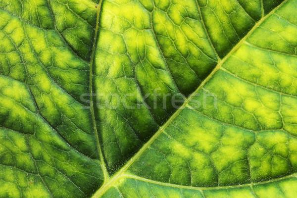 macro detail of hortensia leaf Stock photo © taviphoto