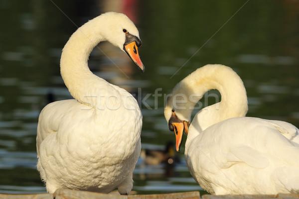 Kısmak çift ayakta birlikte göl erkek Stok fotoğraf © taviphoto