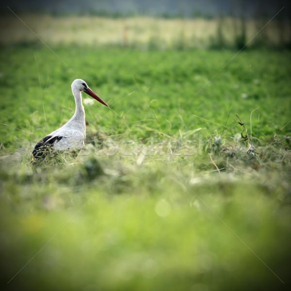 Stock photo: white stork in green field
