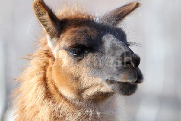 Lama portret dier park haren Stockfoto © taviphoto