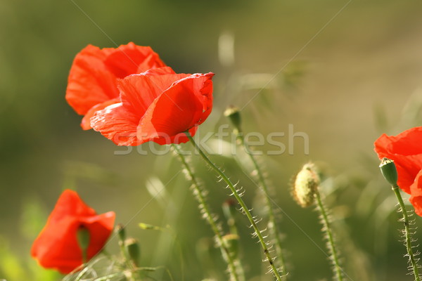 close up of red poppies Stock photo © taviphoto