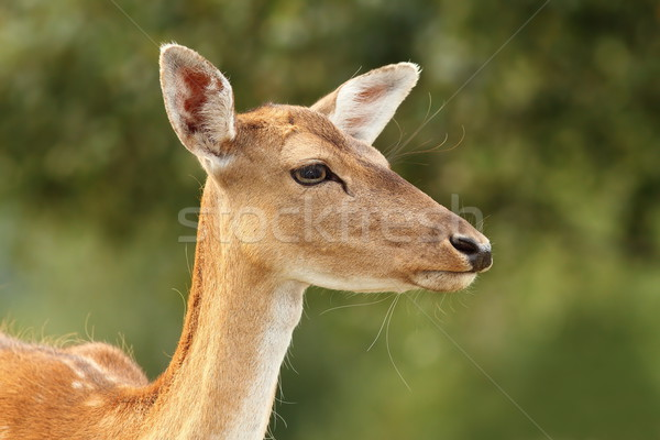deer hind over green background Stock photo © taviphoto