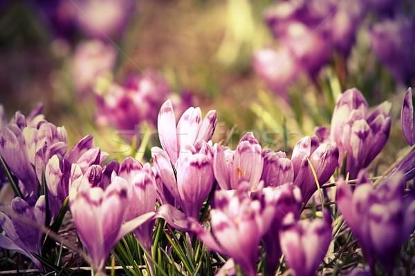 Vintage ver primavera açafrão família cor Foto stock © taviphoto