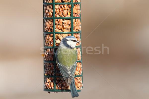 blue tit on bird feeder Stock photo © taviphoto
