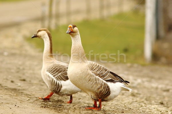 Dos gansos rural carretera uno mirando Foto stock © taviphoto
