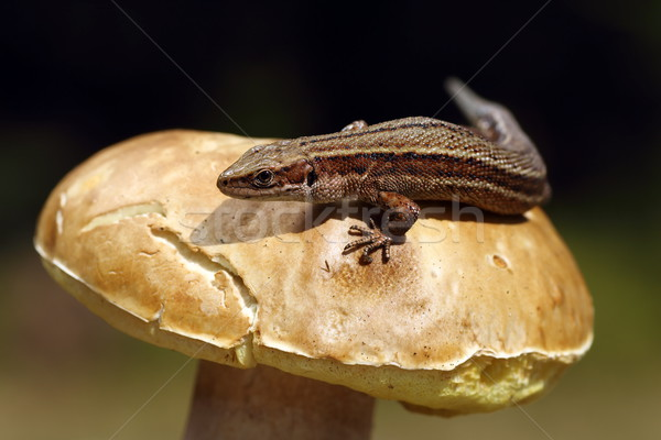 Lézard champignons macro coup nature animaux Photo stock © taviphoto