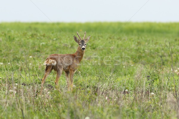 wild roebuck looking at camera Stock photo © taviphoto