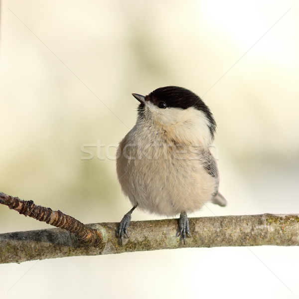 coal tit in the garden in winter Stock photo © taviphoto
