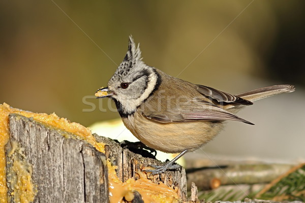 cute crested tit eating lard Stock photo © taviphoto