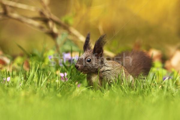 Piros európai mókus zöld fű természet zöld Stock fotó © taviphoto