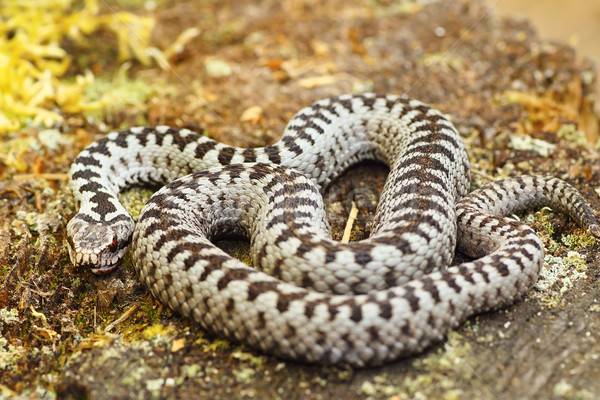 beautiful common european adder basking in the sun Stock photo © taviphoto