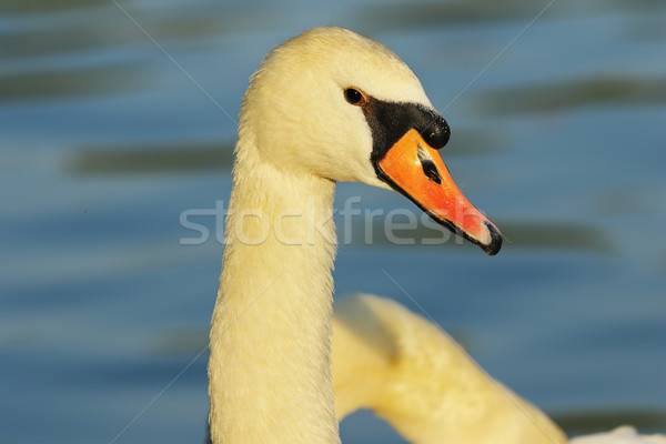 beautiful mute swan portrait Stock photo © taviphoto
