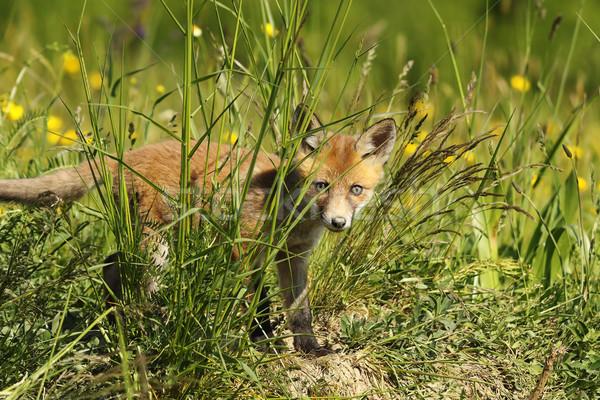 Kíváncsi róka medvebocs rejtőzködik fű néz Stock fotó © taviphoto