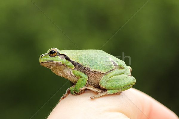 cute green tree frog on woman hand Stock photo © taviphoto