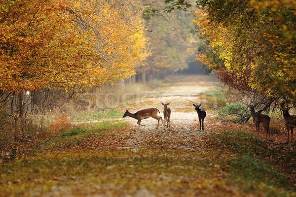 Foto stock: Rural · estrada · floresta · natureza · outono · veado