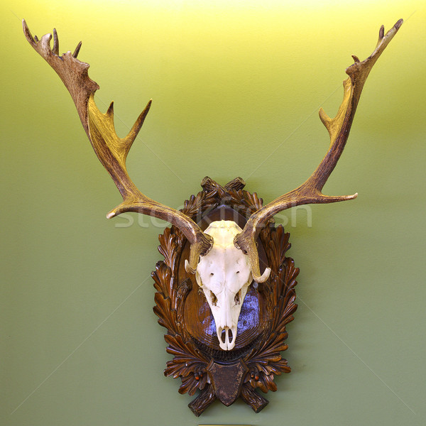 fallow deer hunting trophy on green wall Stock photo © taviphoto