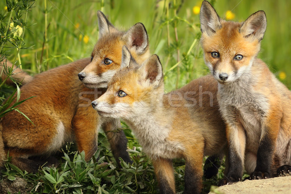 red fox brothers near the den Stock photo © taviphoto