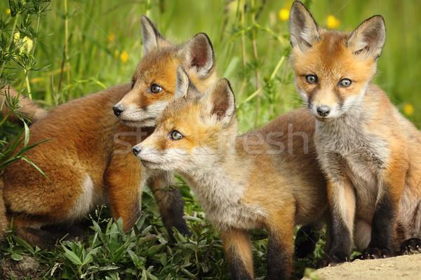 красный Fox братья европейский Постоянный вместе Сток-фото © taviphoto