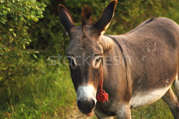 donkey with red rope Stock photo © taviphoto