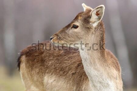deer doe Stock photo © taviphoto